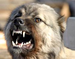 Обои волк оскал зверь Фон  37579  раздел Животные