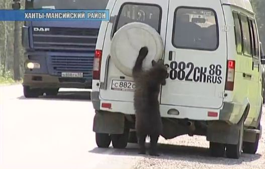 Семья медведей оккупировала участок трассы Ханты-Мансийск – Горноправдинск (ФОТО)